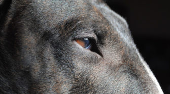 visión bull terrier