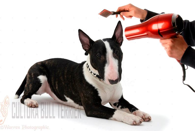 cuidados bull terrier