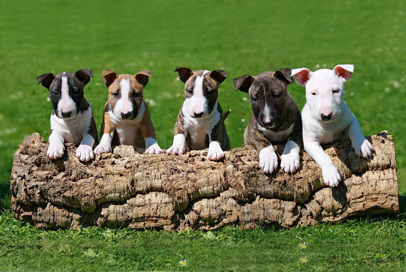 colores bull terrier