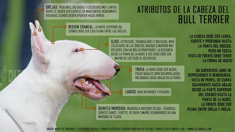 Descripción  atributos de la cabeza del bull terrier