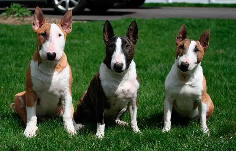 tres Bull Terriers