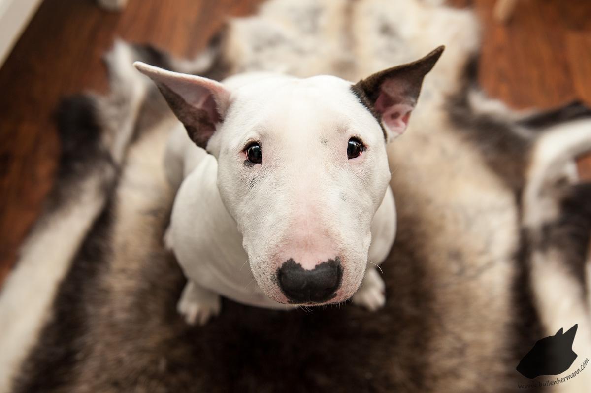 bull-terrier-en-el-hogar