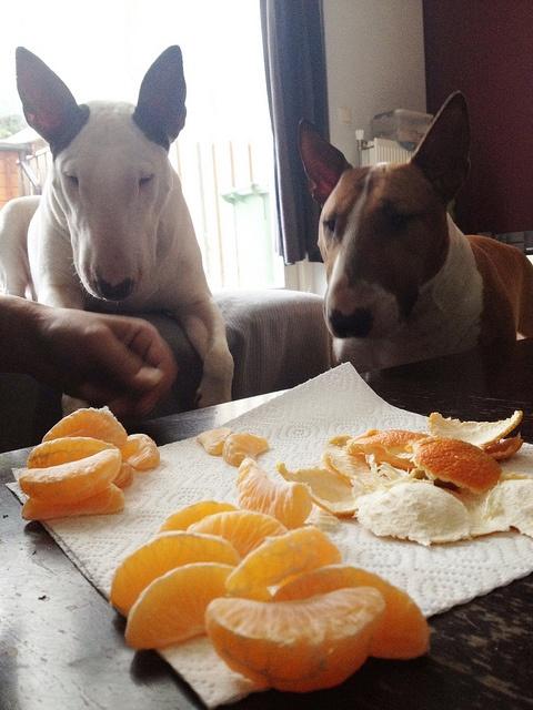 bullterrier fruta mandarina