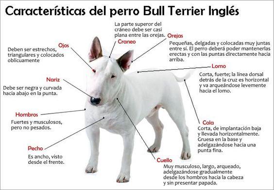 Características físicas del Bull Terrier Ingles