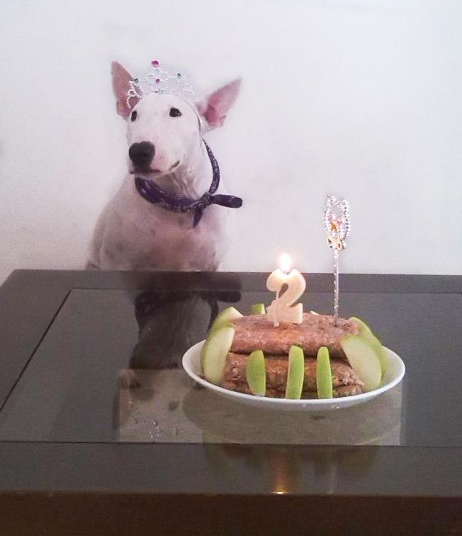 Bull terrier 2 años