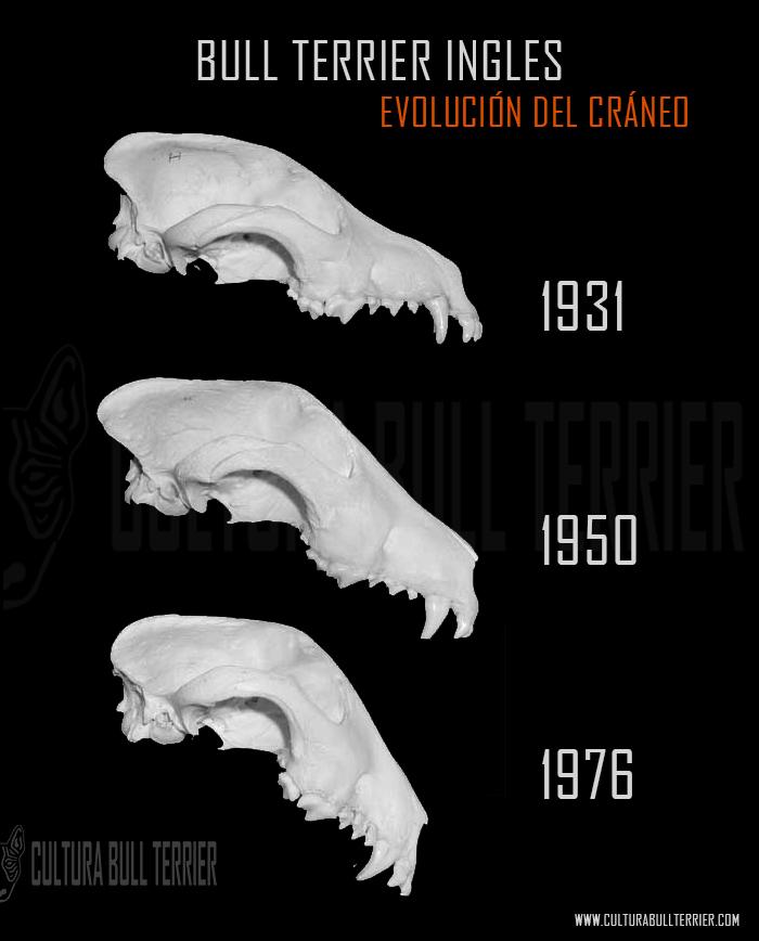 evolución del cráneo cabeza del bull terrier