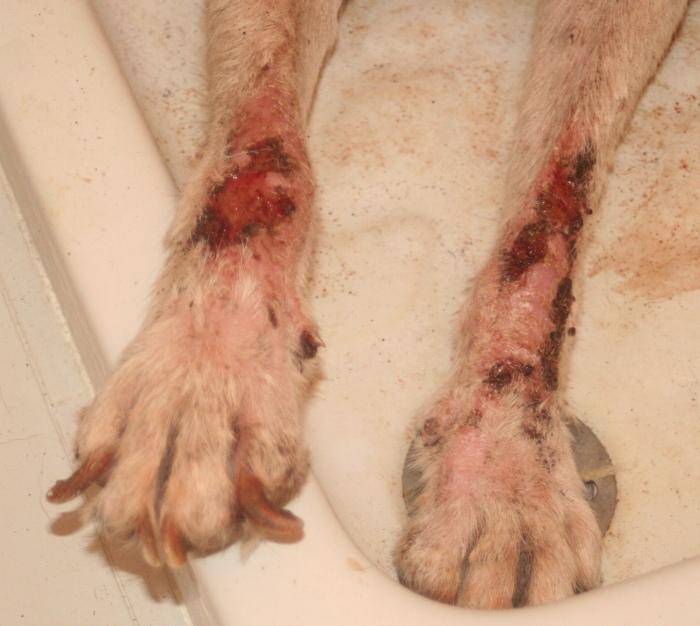 leishmaniasis caninas patas