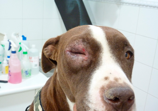 leishmaniasis canina ojos