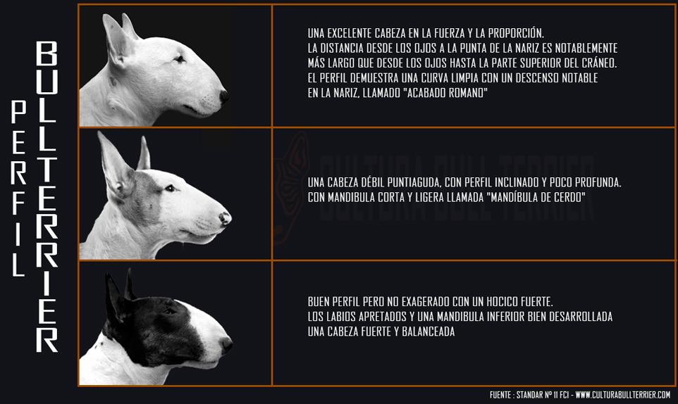 Perfil cabeza Bull Terrier