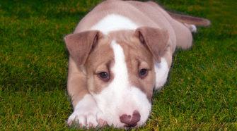 Liver Bull terrier