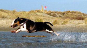 Bull Terrier ejercicios