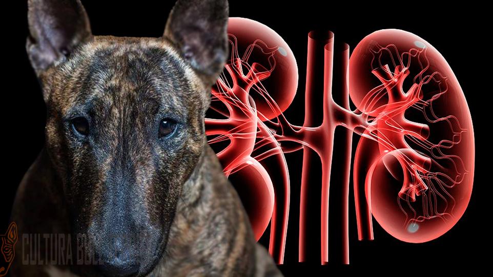 Problemas de riñón en perros - CULTURA BULL TERRIER