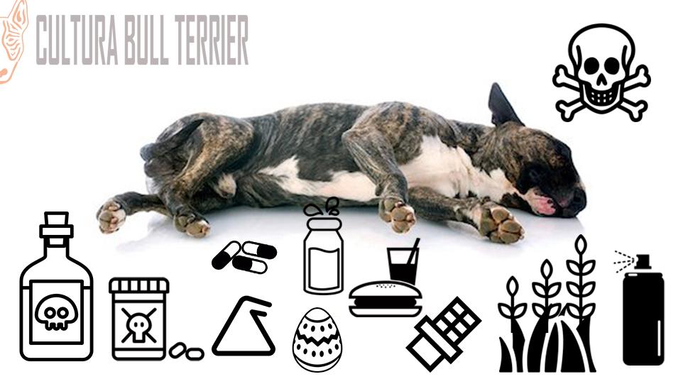 bull-terrier--envenenamiento