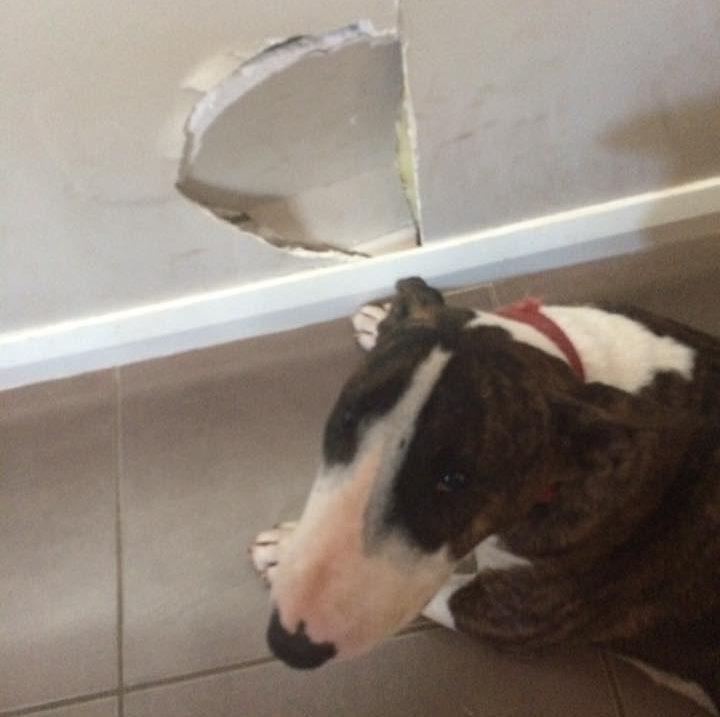 Bull terrier DAISY Pete Campbell AUSTRALIA
