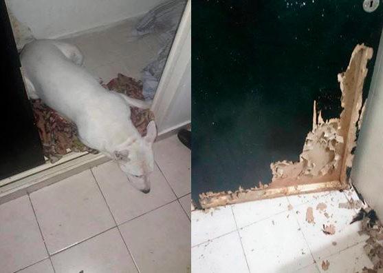 Bull Terrier Tiburonzin de Maria Celeste Yurkstas